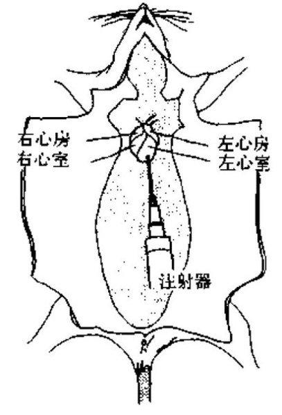 小鼠脑解剖 手绘